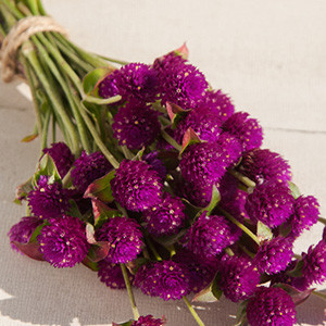 QIS Purple Gomphrena