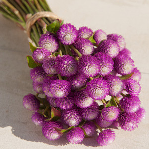 Audray Bi-Color Rose Gomphrena