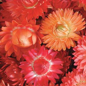 Apricot / Peach Helichrysum (Strawflower)