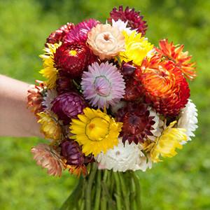 Sultane Mix Helichrysum (Strawflower)
