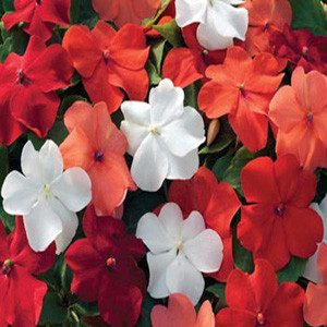 Xtreme Hot Mixture Impatiens