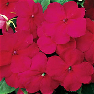 Accent Cranberry Impatiens