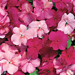 Accent Cranberry Punch Mix Impatiens