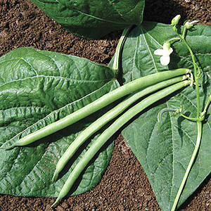 Organic Bush Bean Seeds, Fresh Pick
