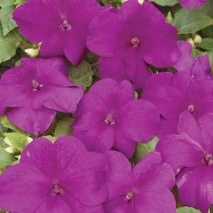 Xtreme Violet Impatiens
