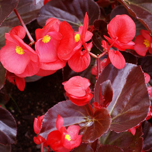 Big™ Red With Bronze Leaf Fibrous Begonia Seeds