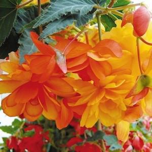 Illumination® Apricot Shades Tuberous Begonia Seeds