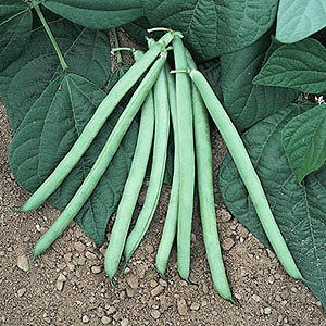 Organic Bush Bean Seeds, Blue Lake