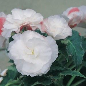 Non-Stop® Appleblossom Tuberous Begonia Seeds