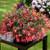 Bossa Nova® Pink Glow Tuberous Begonia Seeds