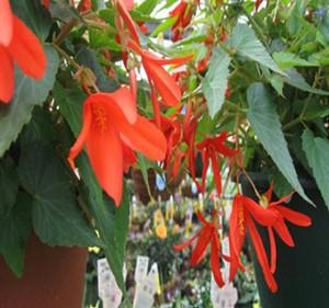 Bossa Nova® Orange Tuberous Begonia Seeds