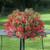 Bossa Nova® Rose Tuberous Begonia Seeds