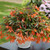 Bossa Nova® Salmon Shades Tuberous Begonia Seeds