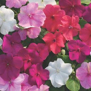 Xtreme Rosey Mix Impatiens