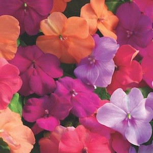 Xtreme Utopia Mix Impatiens