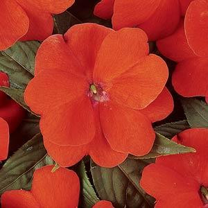 Devine Orange New Guinea Impatiens