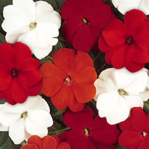 Devine Salsa Mix New Guinea Impatiens