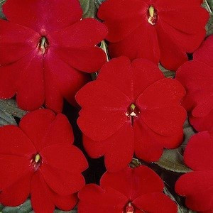 Devine Scarlet Red New Guinea Impatiens