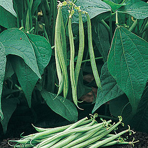 Organic Filet Bean Seeds, French Tavera