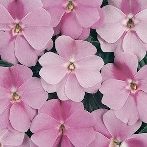 Devine Lavender New Guinea Impatiens