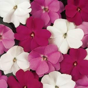 Devine Mystic Mix New Guinea Impatiens