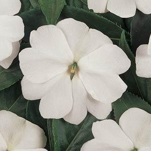 Devine White New Guinea Impatiens