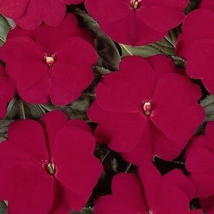 Devine Cherry Red New Guinea Impatiens