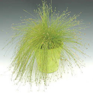 Isolepis Live Wire
