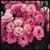 Borealis Pink Lisianthus