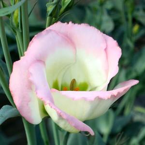 Echo Pink Picotee Lisianthus