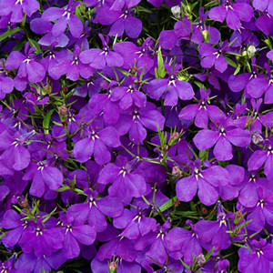 Crystal Palace Blue Lobelia-Mounding
