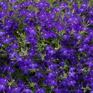 Regatta Midnight Blue Lobelia Seeds-Trailing