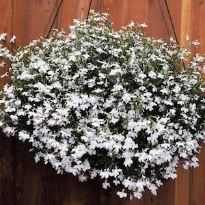 Regatta White Lobelia Seeds-Trailing