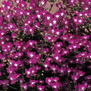 Regatta Rose Lobelia Seeds-Trailing