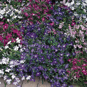 Riveria Mix Lobelia-Mounding