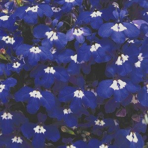 Riveria Blue Eyes Lobelia Seeds-Mounding