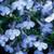 Riveria Blue Splash Lobelia-Mounding