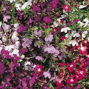 Regatta Mix Lobelia Seeds Trailing 2bseeds