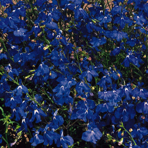 Regatta Marine Blue Lobelia Seeds-Trailing
