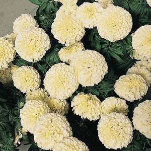 Vanilla Improved Marigold Seeds - African Semi Dwarf