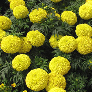 Moonstruck Yellow Marigold Seeds - African-Semi Dwarf