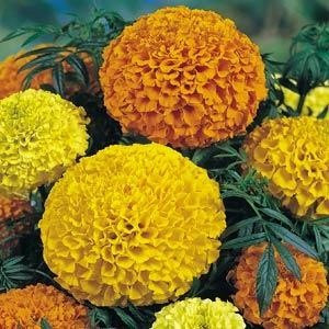 Lady Mix Marigold Seeds -African-American