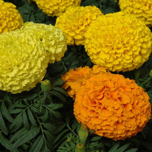 Marvel Mix Marigold Seeds - African Semi Dwarf