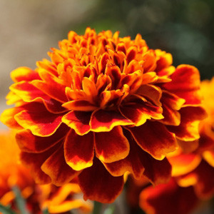 Cresta Flame Marigold Seeds - French Crested