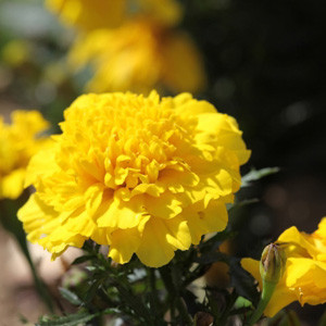 Cresta Yellow Marigold Seeds - French Crested