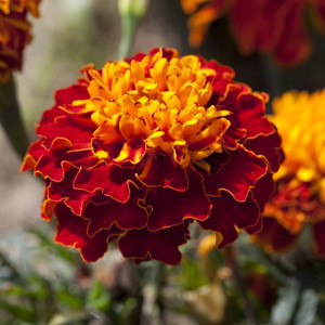 Cresta Harmony Marigold Seeds - French Crested