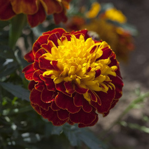 Cresta Spry Marigold Seeds - French Crested