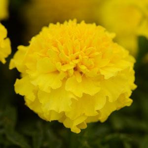 Hot Pak™ Yellow Marigold Seeds - French