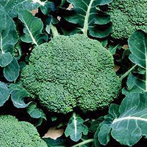 Organic Broccoli Seeds, Belstar