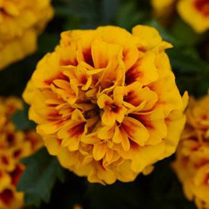 Hot Pak™ Fire Marigold Seeds-French
